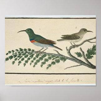 Twee kraaghoningzuigers (Nectarinia afra), Robert Poster