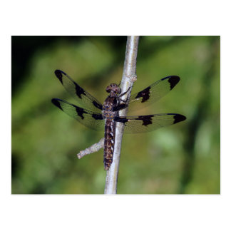 Twelve Spotted Skimmer Dragonfly Postcard