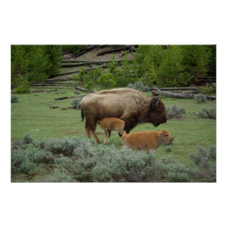 Twin American bisons with mother Posters