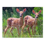 Twin Fawns in the Hawkweed, whitetail deer Postcar