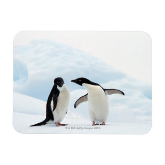 Two Adelie Penguins sitting on a sheet of ice Magnet