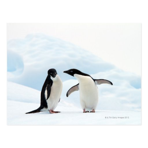 Two Adelie Penguins sitting on a sheet of ice Postcards