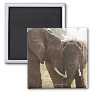 Two African Bush Elephants (Loxodonta Africana) Magnet