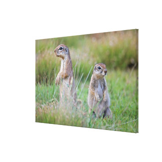 Two alert Ground Squirrels, Jamestown District, Canvas Print