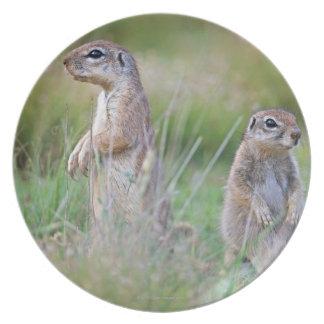 Two alert Ground Squirrels, Jamestown District, Plate