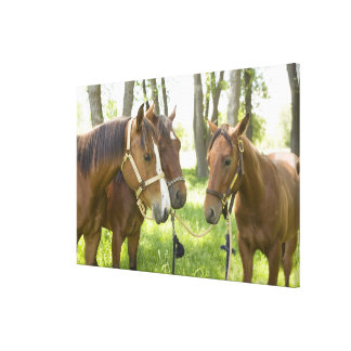 Two American Quarter horses standing in shade Canvas Print