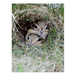 Two Baby Chipmunks Trying to get out of the Burrow Postcard