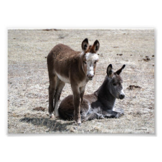 Two Baby Donkeys 5x7 Photographic Print