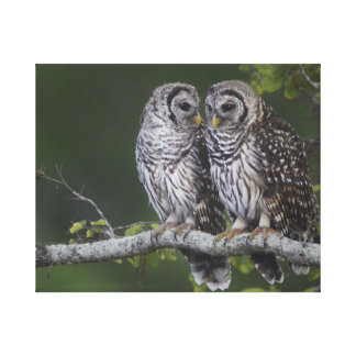 Two Barred Owls Waiting for Their Mother Canvas Prints