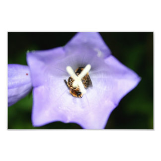Two bees sleeping in a purple flower photo print