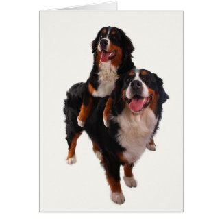 Two bernese card