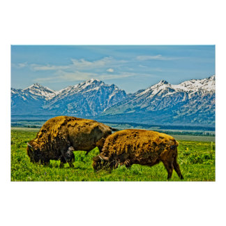 Two bison grazing poster