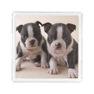 Two Boston Terrier Puppies Acrylic Tray
