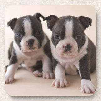 Two Boston Terrier Puppies Coasters