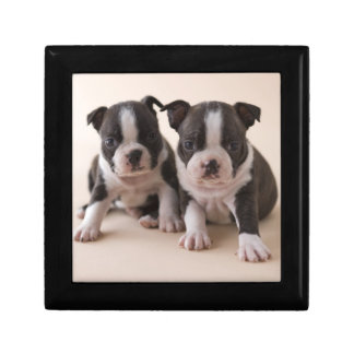 Two Boston Terrier Puppies Gift Box