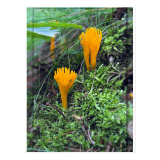 Two Bright Orange Yellow Wild Mushrooms On Moss Co Postcard