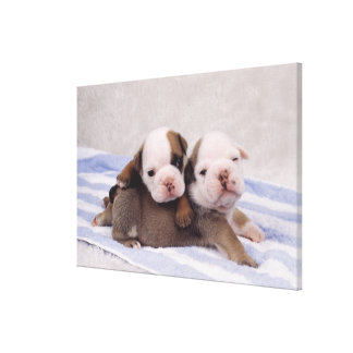 Two bulldog puppies on towel canvas print