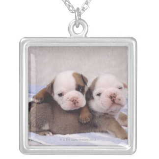 Two bulldog puppies on towel necklaces