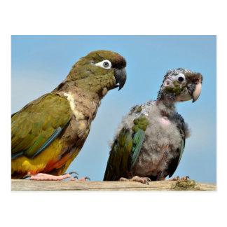 Two Burrowing Parrots Postcard