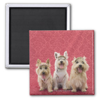 Two cairin terriers and one westie magnet