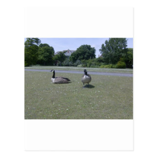 Two Canada Geese Postcard