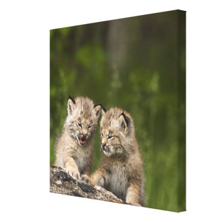 Two Canada Lynx Kittens Playing On A Log Canvas Print