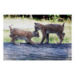 Two Canadian Lynx Kittens playing on a Log Posters
