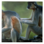 Two capped langurs (Presbytis pileatus) sitting Large Square Tile