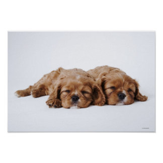 Two Cavalier King Charles Spaniel puppies Poster