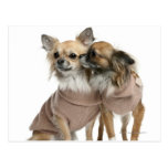 Two Chihuahuas dressed (2 years old)