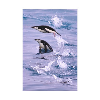 Two Chinstrap Penguins in the Water Canvas Print