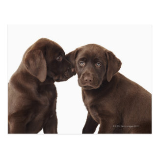 Two chocolate Labrador Retriever Puppies Postcard