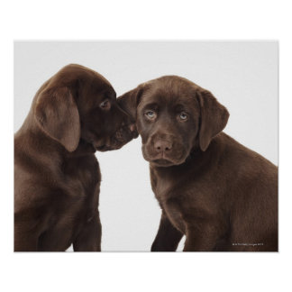 Two chocolate Labrador Retriever Puppies Poster