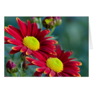 Two chrysanthemum card