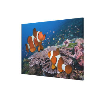 Two Clownfish Canvas Print