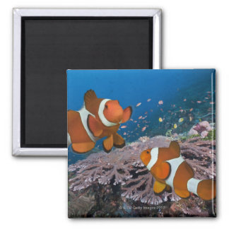 Two Clownfish Magnet
