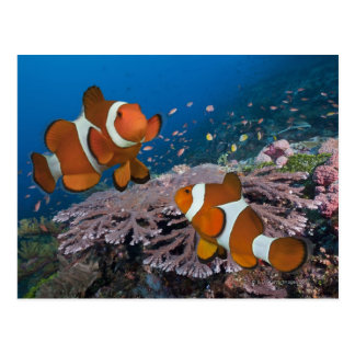 Two Clownfish Postcard