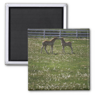 Two colts in field square magnet