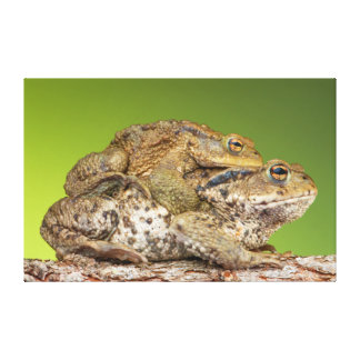 Two Common Toads Bufo Bufo Together Canvas Print