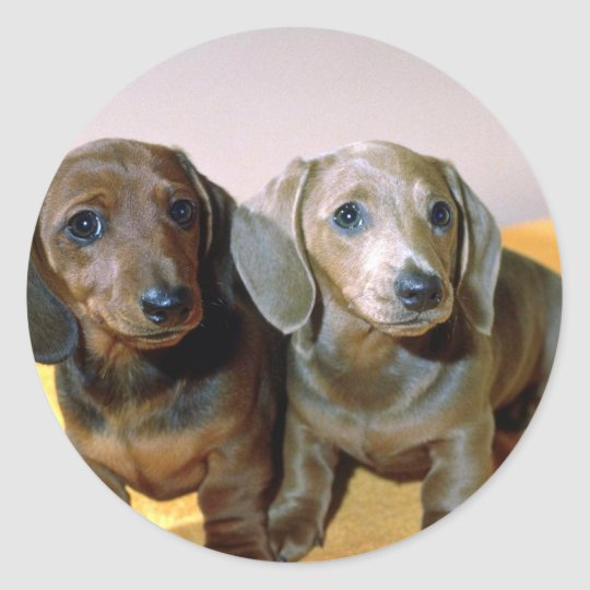 Two Dachshund pups Classic Round Sticker
