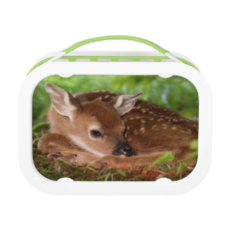 Two day old White-tailed Deer baby, Kentucky. Lunchbox