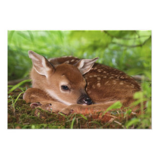 Two day old White-tailed Deer baby, Kentucky. Photo Print