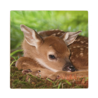 Two day old White-tailed Deer baby, Kentucky. Wood Coaster