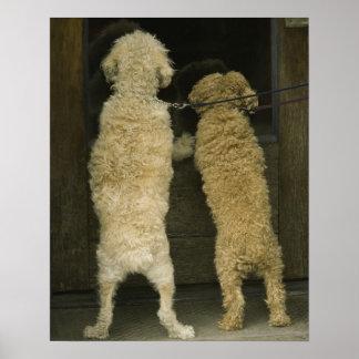 Two dogs looking in door window, rear view poster