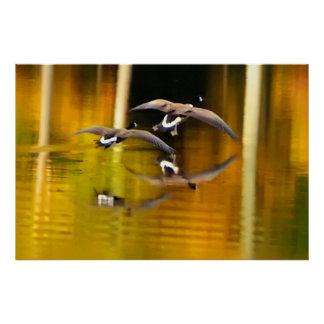 Two Ducks Flying Over Water Poster