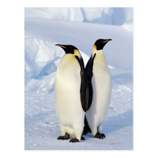 Two Emperor Penguins in Antarctica Postcard