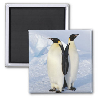 Two Emperor Penguins in Antarctica Square Magnet