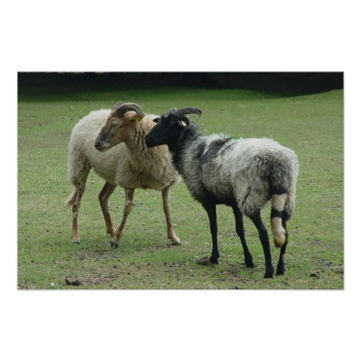 Two ewes poster