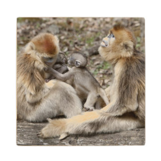 Two female Golden Monkeys with newborns Wood Coaster