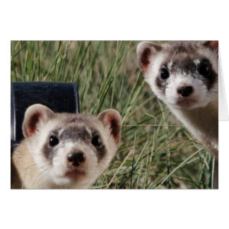 Two Ferrets Card